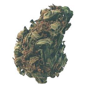 Pine Warp - Sativa