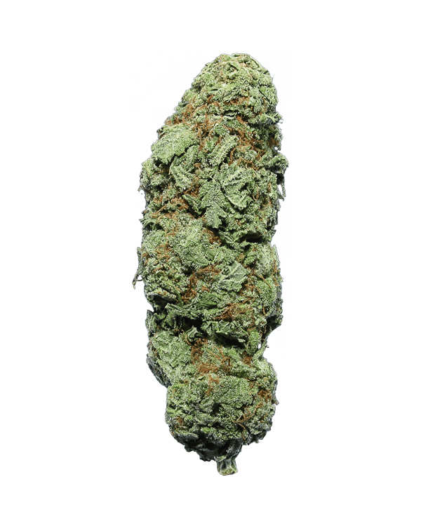 Megalodon sativa dominant hybrid cannabis strain
