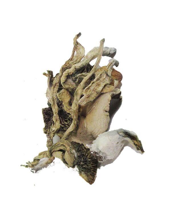 African transkei AKA Transkei Cubensis magic mushrooms