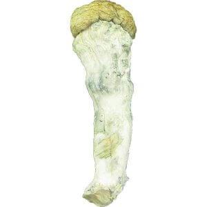 Pscilocybe Cubensis - Penis Envy