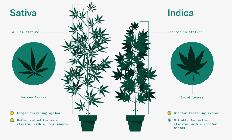 indica vs sativa picture